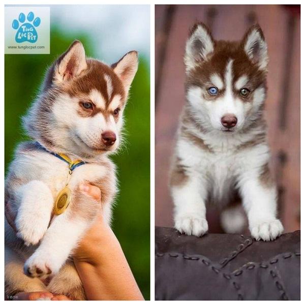 Top 5 địa chỉ bán chó Husky uy tín nhất tại TP.HCM